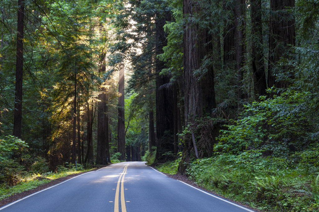 Avenue of the Giants road and redwood trees